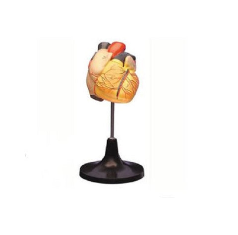 Life-Size Heart Anatomical Model Two Part