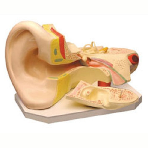 Human Ear Anatomical Model