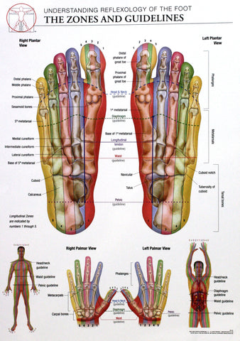 14x20 Anatomy Poster - Zones and Guidelines of the Reflexology of the Foot - Online Science Mall