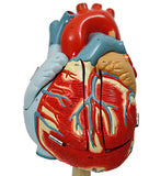 The Original Heart of America - Oversized Human Heart Anatomical Model