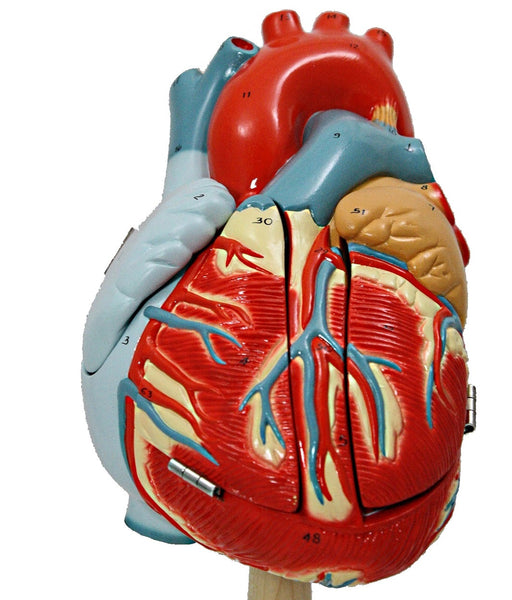 Sheep heart dissection physical education essay