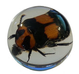 "3/4"" Lucite Embedment Marble with Flower Scarab Beetle- Bug Inside"