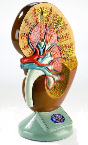 Deluxe Left Kidney Human Anatomical Model