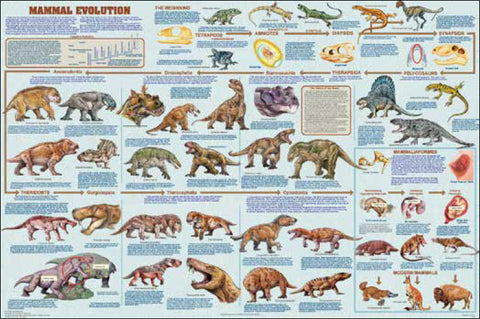 Mammal Evolution Laminated Poster 24x36
