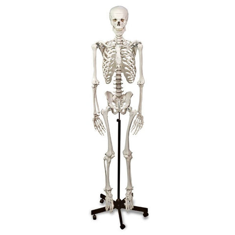 Human Skeleton Life Size Model with Stand Wheels