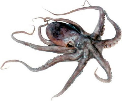 Preserved 4-6 Inch Octopus Plain in Wet Pack