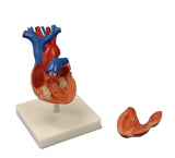 Life-Size Human Heart Anatomical Model With Stand