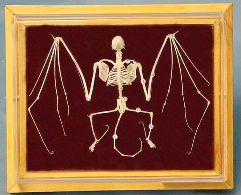 Bat Skeleton, Natural Bone with Key