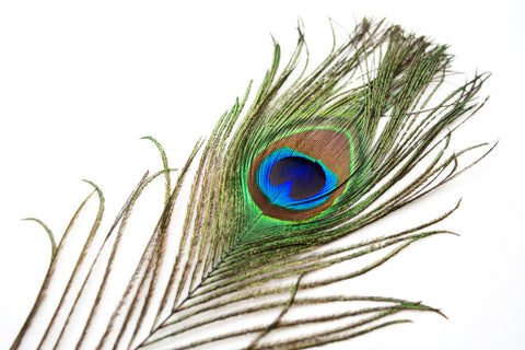 Natural Peacock Feathers of Fun - Pack of 10