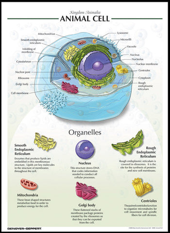 Raised Relief Biological Chart ANIMAL CELL Poster