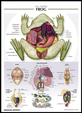 Raised Relief Biological Chart FROG Poster