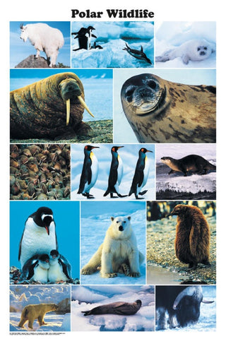 Laminated Polar Wildlife Poster 24x36 Photo  Montage