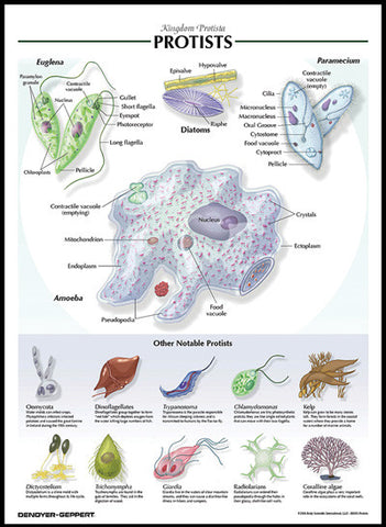 Raised Relief Biological Chart PROTISTS Poster