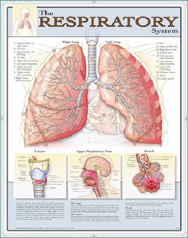 Laminated Respiratory System Poster/Chart