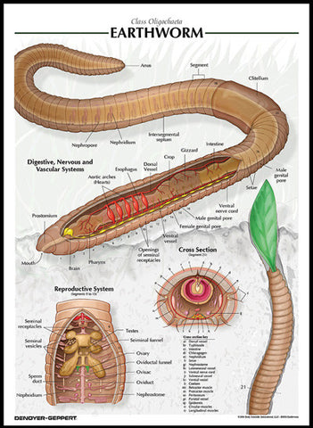 Raised Relief Biological Chart EARTHWORM Poster