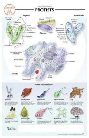 11x17 Post-It Biological Poster - Basic Anatomy of Single-Celled Protists - Online Science Mall