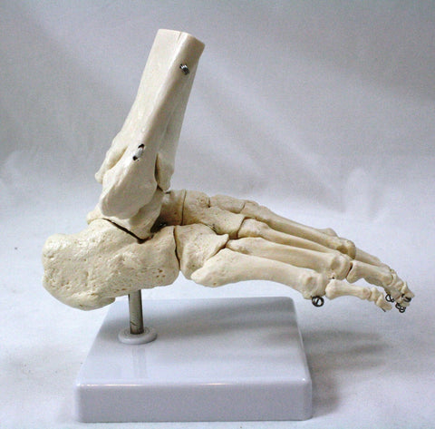 Anatomical Model of the Human Foot, with Flexible Joints