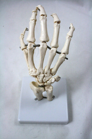 Anatomical Model of the Human Hand, with Flexible Joints