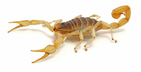 "Preserved 1-3"" Plain Scorpions, Wet Pack of 10"