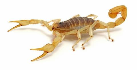 "Preserved <1"" Plain Scorpions, Wet Pack of 100"