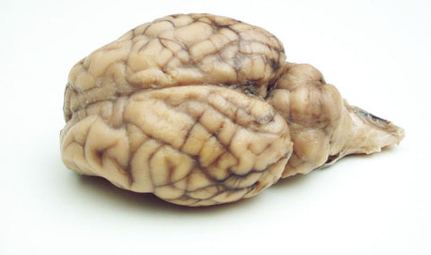 Preserved Sheep Brain Fully Extracted Plain