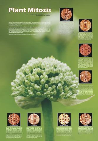 The Stages of Plant Mitosis - Biology Poster, 36x26