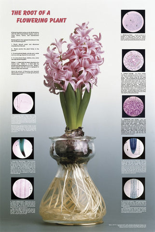 Root of a Flowering Plant - Biology Poster, 36x26""