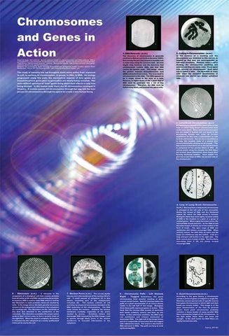 The Chromosomes and Genes in Action - Biology Poster, 36x26""