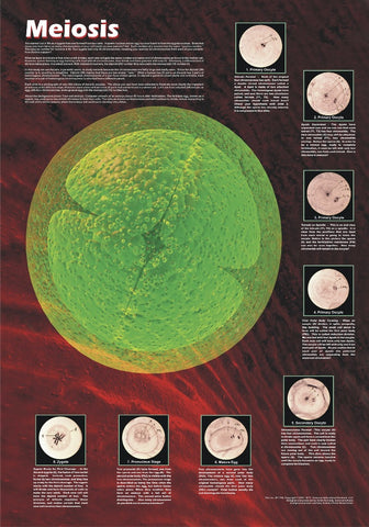 Cell Division: The Stages of Meiosis - Biology Poster, 36x26