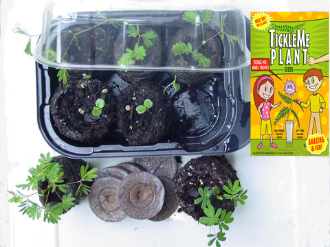 Tickle Me Ticklish Potted Plant Growing Kit Sensitive to Touch