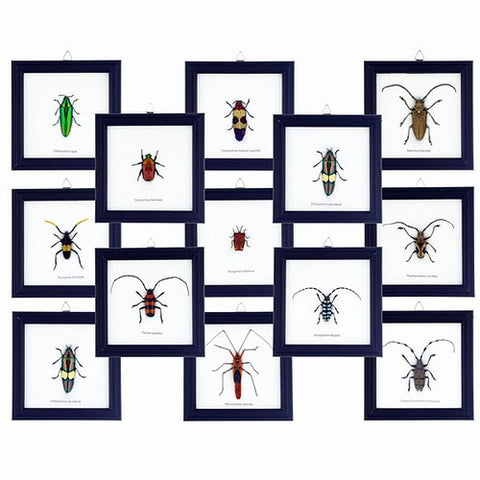 Pack of 12 Individually Framed Preserved Insects
