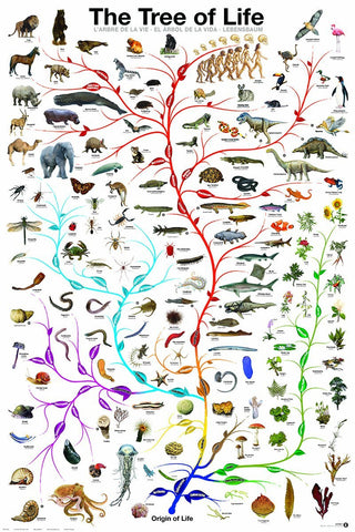 The Evolutionary Tree of Life - Biology Poster, 24x36
