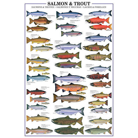 Salmon & Trout Species Identification - Fish Poster, 24x36