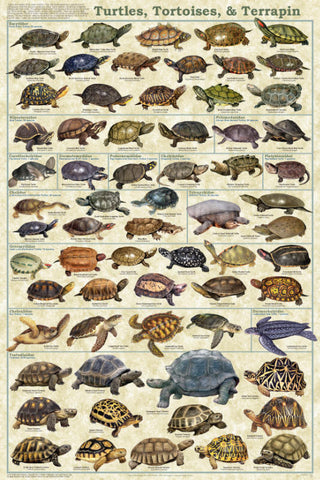 Turtles Tortoises and Terrapins Laminated Poster 24x36