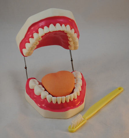 Oral Hygiene Model: Large Human Teeth & Toothbrush