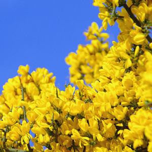 Irish Gorse Bush