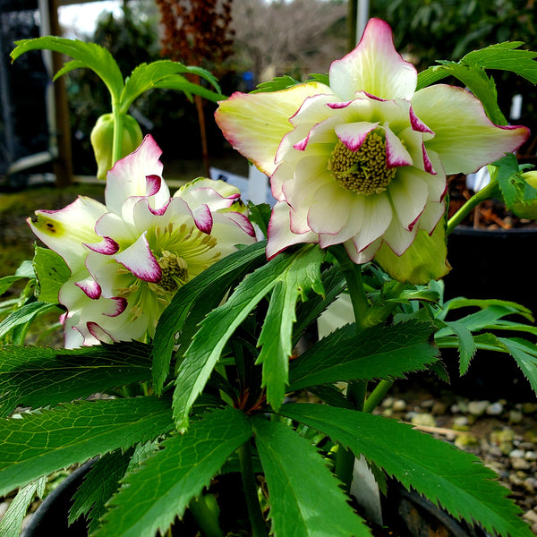 Helleborus x hybridus Winter Jewells series   'Rose Quartz'