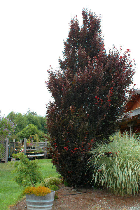 Red Obelisk Beech