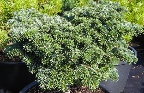 Abies borisii-regis 'J.K. Greece'