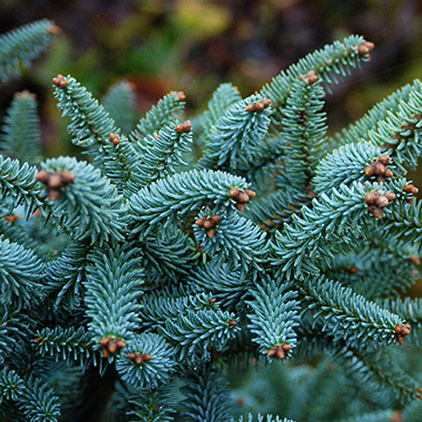 Horstmann Spanish Fir
