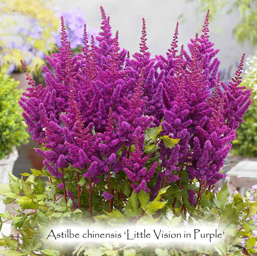 Astilbe chinensis 'Little Vision in Purple'