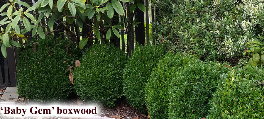 Buxus microphylla 'Gregem' PP21159 'Baby Gem' Boxwood