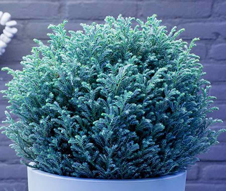 Chamaecyparis pisifera 'Blue Moon'