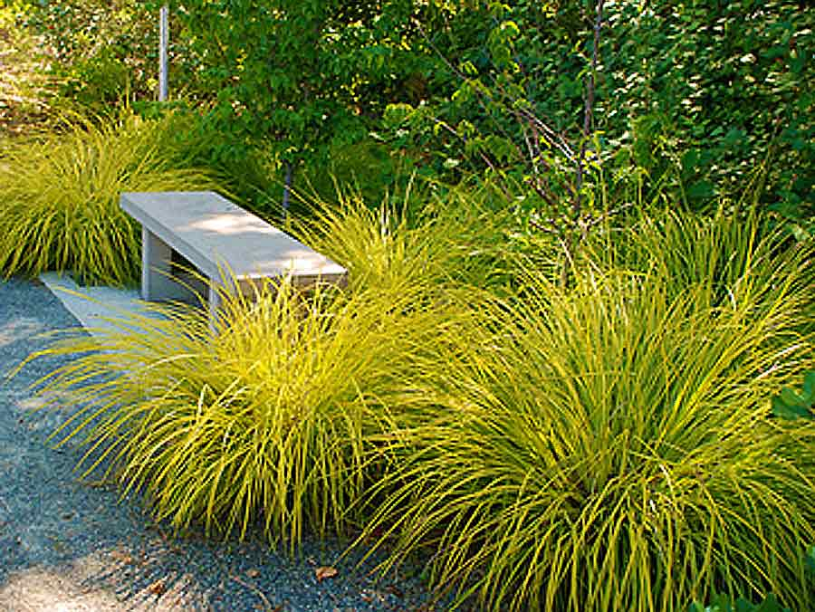 Bowles Golden Carex