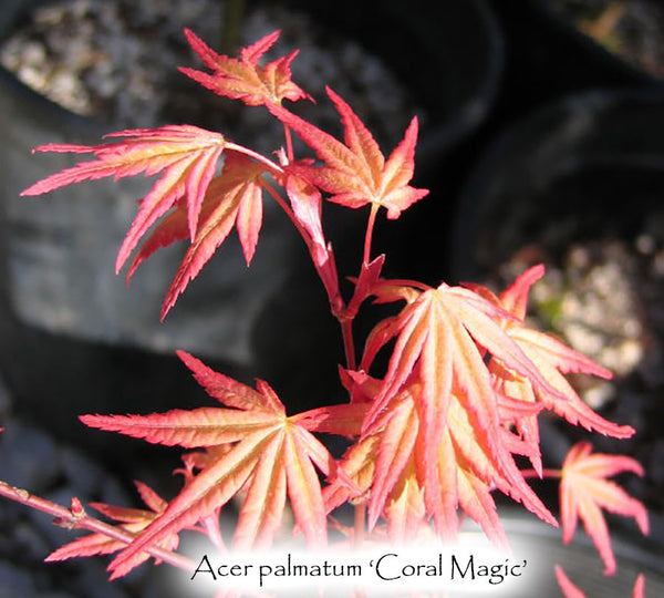 Acer palmatum 'Coral Magic'