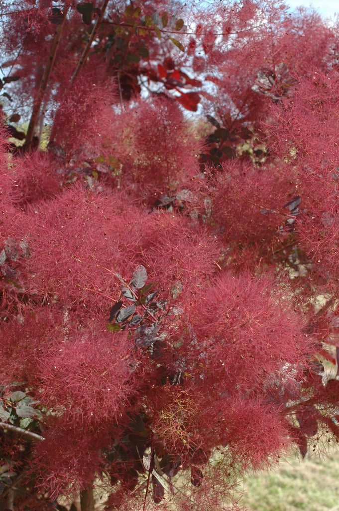 Cotinus Royal Purple Smoke Tree