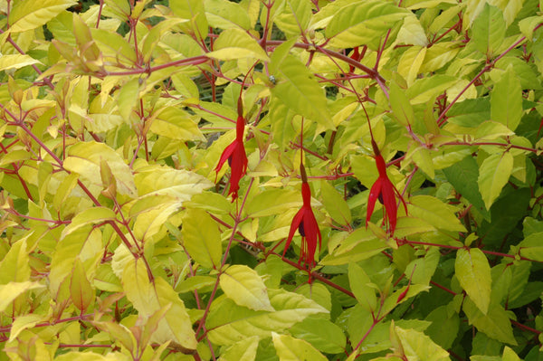 Golden Leaf Fuchsia