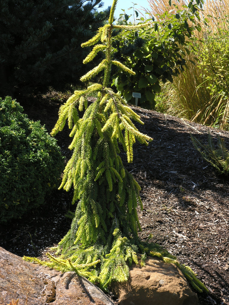 Picea abies 'Gold Drift'