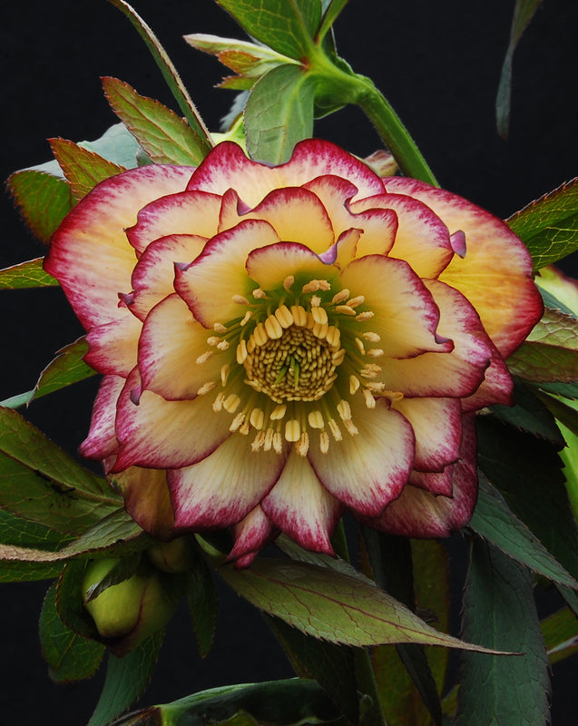 Helleborus x hybridus Winter Jewells series 'Sun Flare'