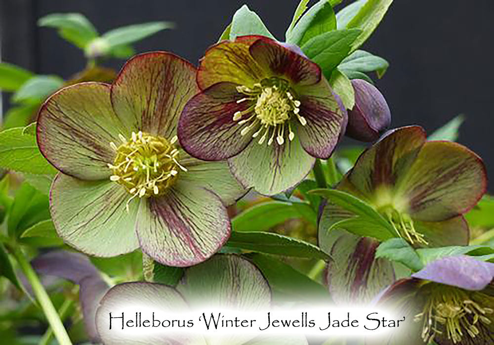 Helleborus × hybridus Winter Jewells series  'Jade Star'
